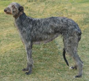Levrier ecossais (Deerhound) Deerho10