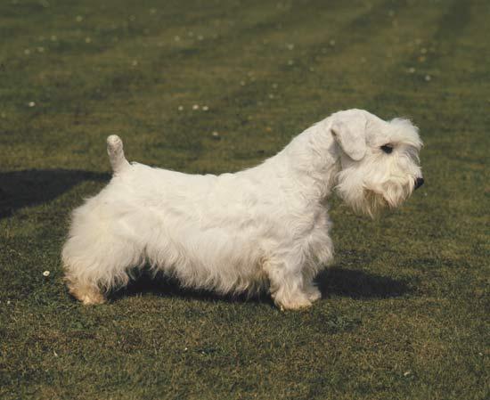 Sealyham Terrier Sealyh10