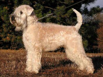 Irish Soft Coated Wheaten Terrier Soft_c10