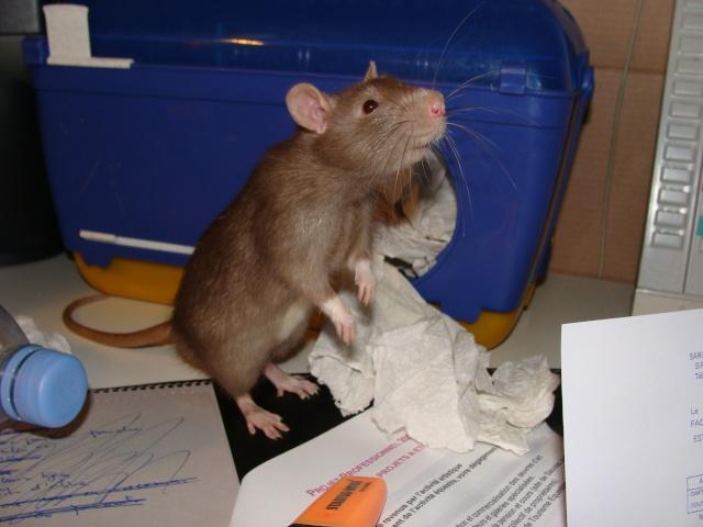 ZE post des muridés déglinguos.................... des rats! 363_0010