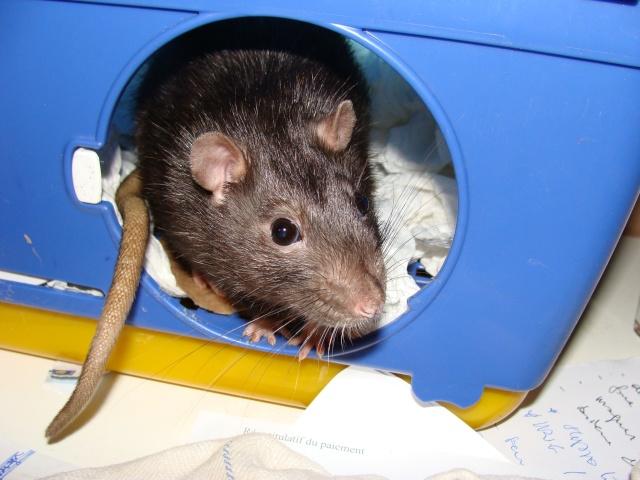 ZE post des muridés déglinguos.................... des rats! 363_0210