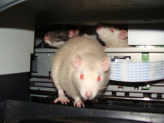 ZE post des muridés déglinguos.................... des rats! 363_0412