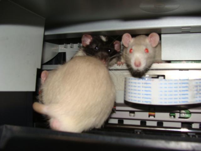 ZE post des muridés déglinguos.................... des rats! 363_0510