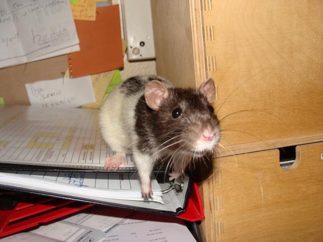 ZE post des muridés déglinguos.................... des rats! 363_0613