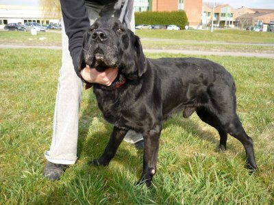 Moras croisé Labrador de 13 ans (SPA de Saint-Omer 62) - ADOPTE - Moras313