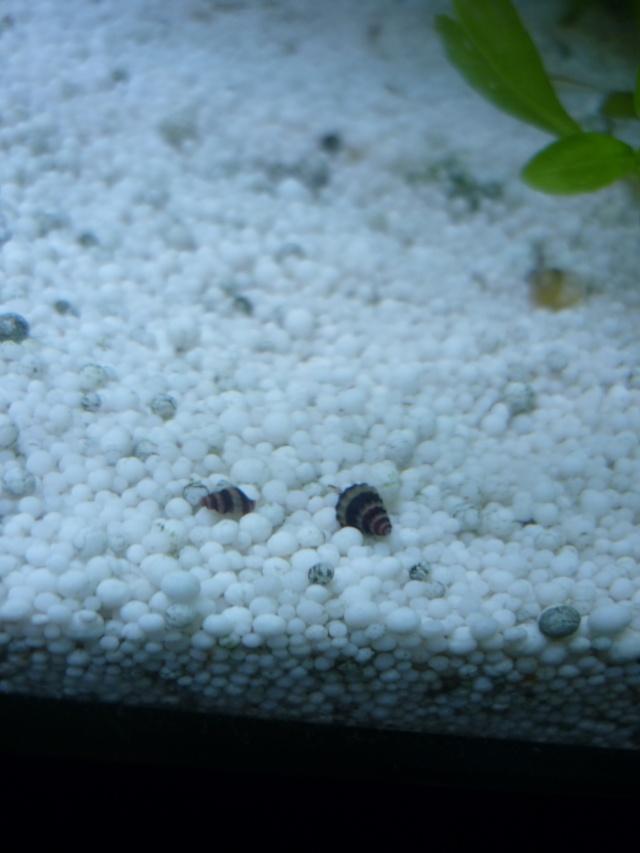 L'invasion des escargots help P1030934