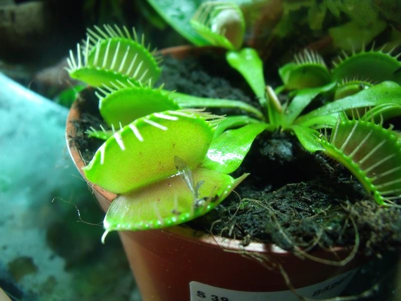 plante carnivore seche