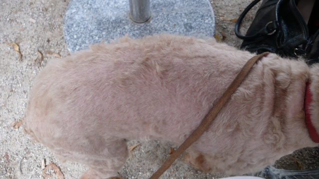 Caniche nain abricot 12 ANS - aveugle - ADOPTE - 2009_072