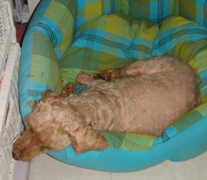 Caniche nain abricot 12 ANS - aveugle - ADOPTE - Snoopy10