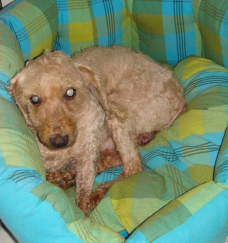 Caniche nain abricot 12 ANS - aveugle - ADOPTE - Snoopy11