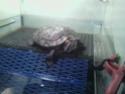 ma tortue de floride Sp_a1260