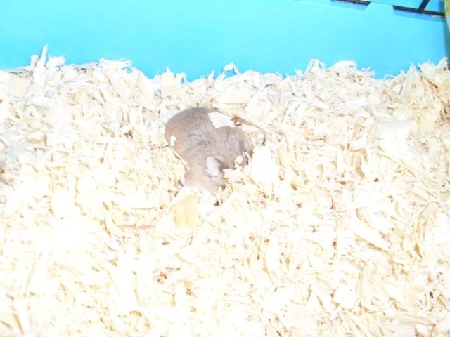 [Belgique-Liège] 50 rats saisis cherchent adoptants 0021010