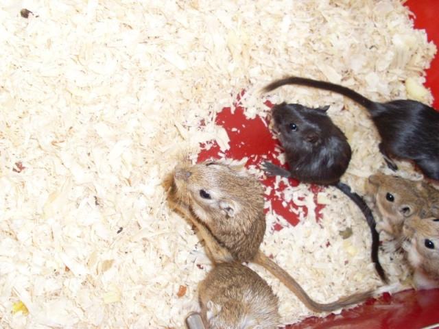 [Belgique-Liège] 50 rats saisis cherchent adoptants 0031010