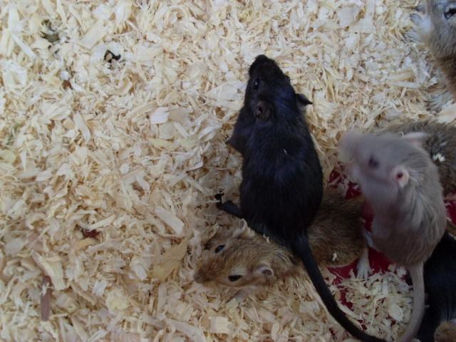 [Belgique-Liège] 50 rats saisis cherchent adoptants 0041010