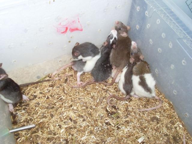 [Belgique-Liège] 50 rats saisis cherchent adoptants 0051010
