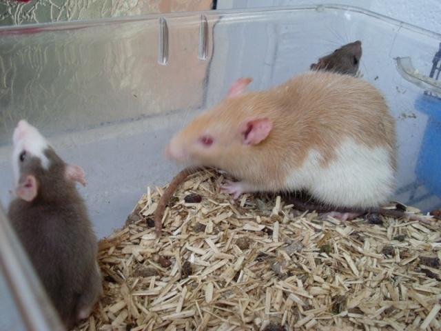 [Belgique-Liège] 50 rats saisis cherchent adoptants 0081010