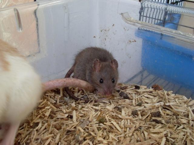[Belgique-Liège] 50 rats saisis cherchent adoptants 0091010