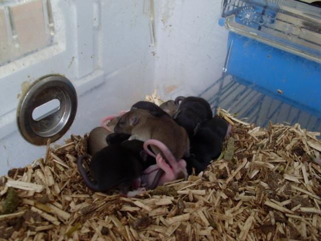 [Belgique-Liège] 50 rats saisis cherchent adoptants 0101010