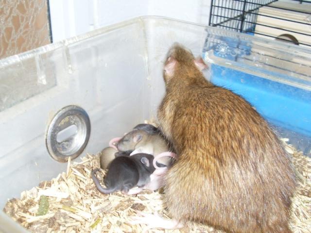 [Belgique-Liège] 50 rats saisis cherchent adoptants 0111010