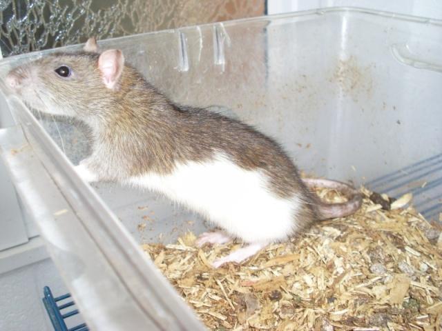 [Belgique-Liège] 50 rats saisis cherchent adoptants 0121010