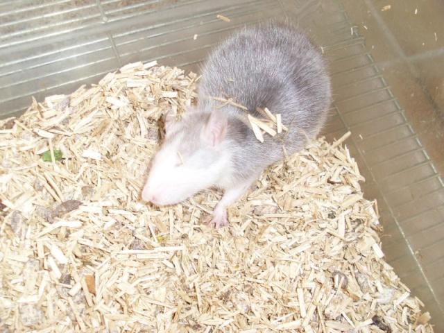 [Belgique-Liège] 50 rats saisis cherchent adoptants 0141010