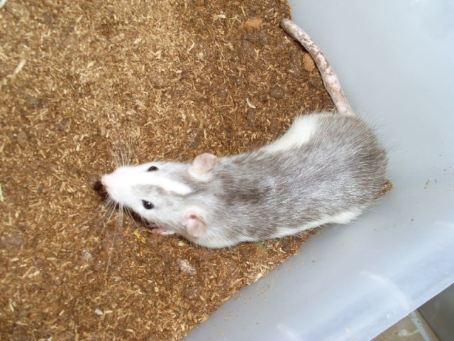 [Belgique-Liège] 50 rats saisis cherchent adoptants 0201010