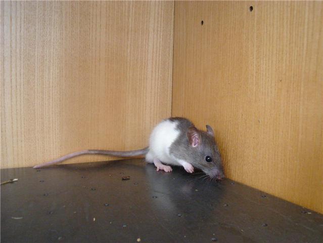 [Belgique-Liège] 50 rats saisis cherchent adoptants Bart1010