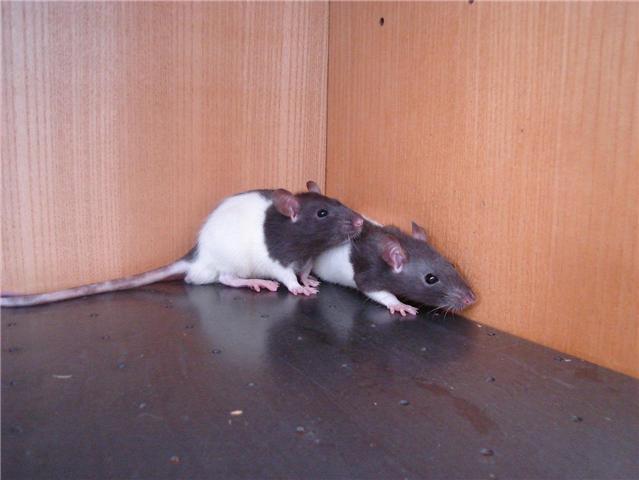 [Belgique-Liège] 50 rats saisis cherchent adoptants Gary_e10