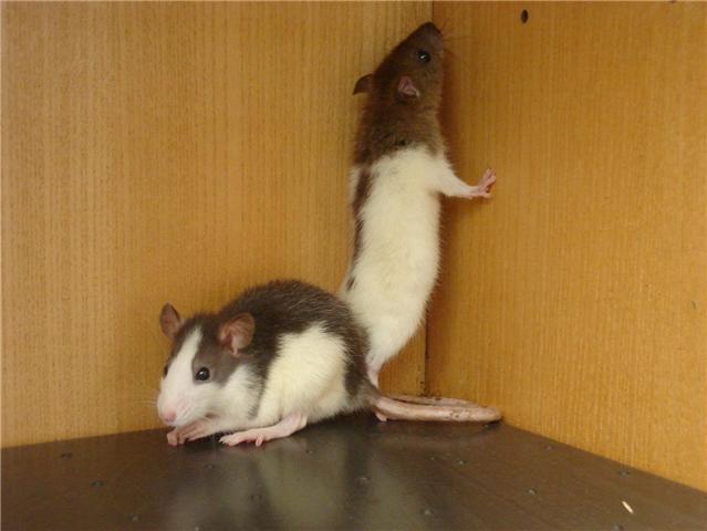 [Belgique-Liège] 50 rats saisis cherchent adoptants Kuma_e10