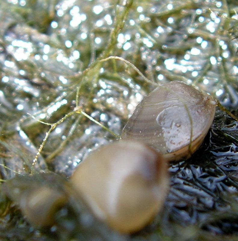 [résolu]Sphaerium (Sphaerium) corneum (LINNAEUS, 1758) Pict3814