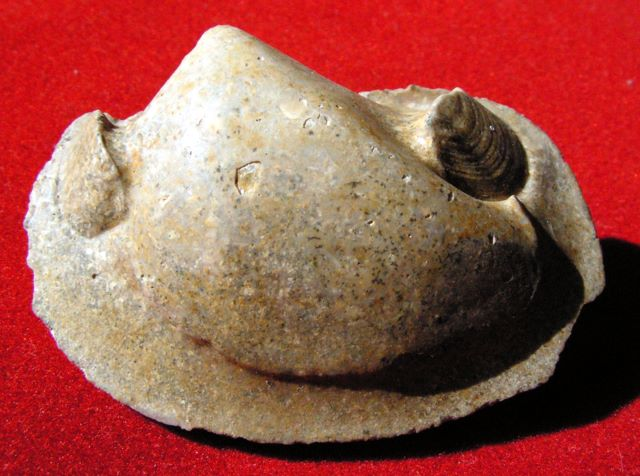 [résolu]Moule de Crassatella sp. Pict4910