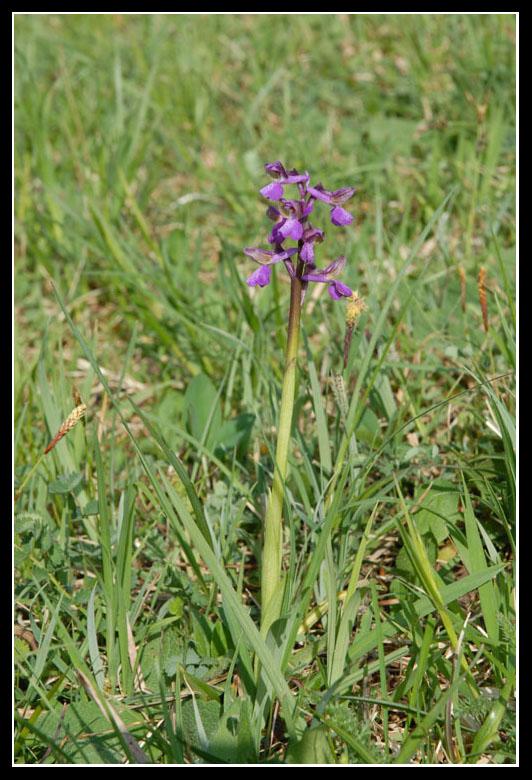 Anacamptis morio ( Orchis bouffon ) 20090439