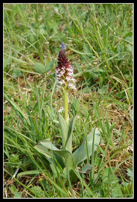 Neotinea ustulata ( Orchis brûlé ) 20090551