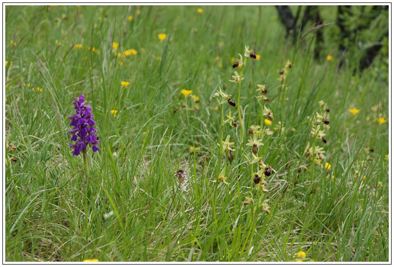 Ophrys aranifera ( = sphegodes , Ophrys araignée ) Mor0110