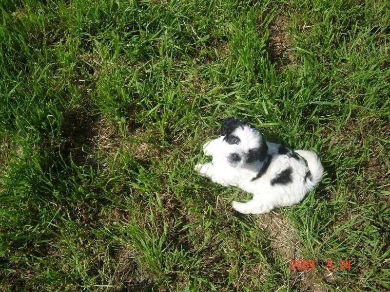 Balou chiot mâle 5 semaines sous contrat Scbe Dsc04521
