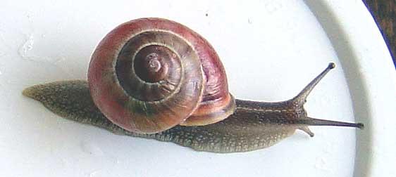 Escargot de haie Escarg11