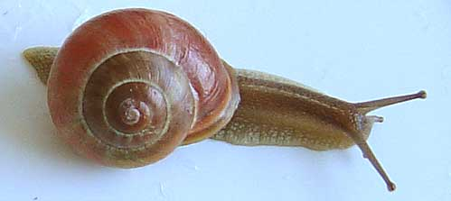 Escargot de haie Escarg13