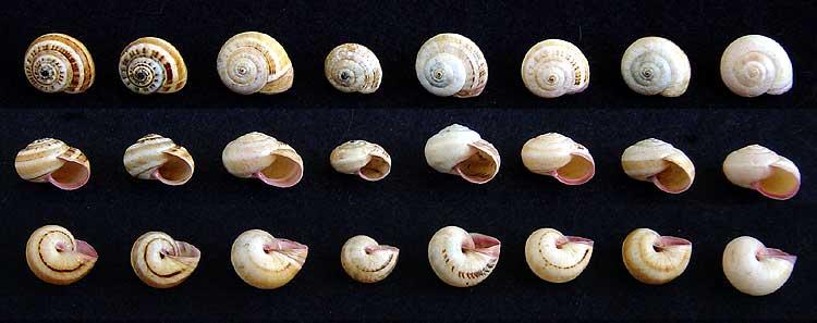 Gastéropode terrestre de la limite 49/79 (1ère espèce) Escarg14