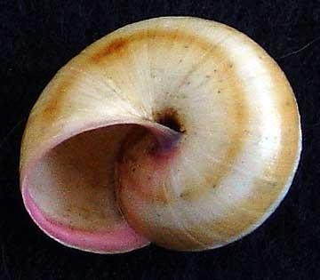 Gastéropode terrestre de la limite 49/79 (1ère espèce) Escarg15