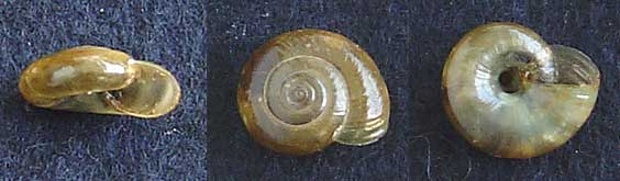 Gastéropodes de Doué-la-Fontaine (49) Escarg18
