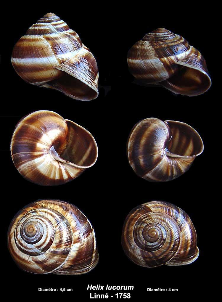 Escargots du Vaucluse Helix-11