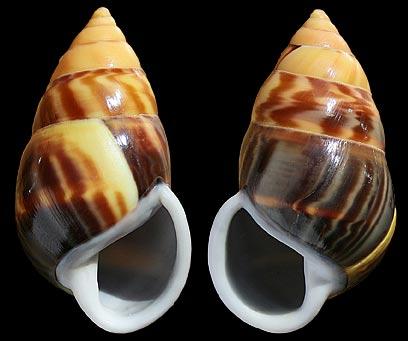 Escargots des Philippines Amphi_10