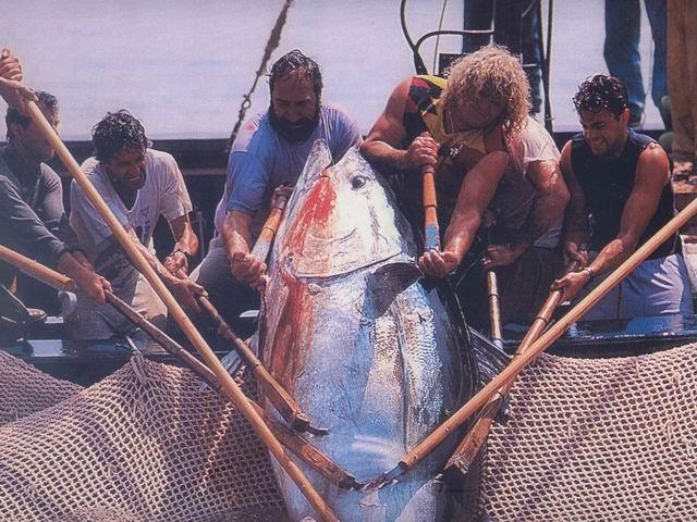 La pêche au thon rouge: tonnara, almadraba, mattanza et tutti quanti... Matanz12