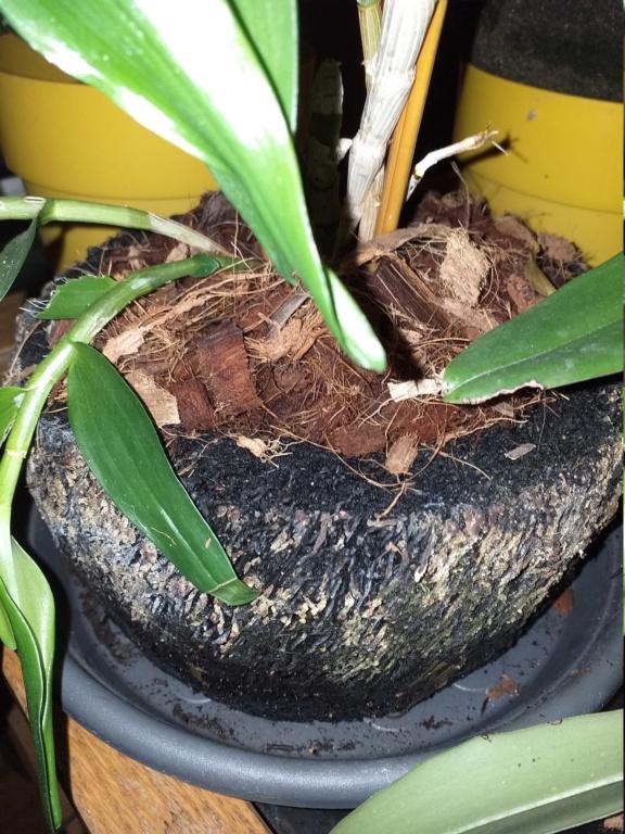 Utilisation pots en fougère arborescente 20201054