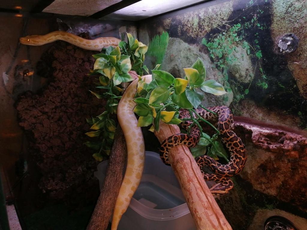 Mes pythons bivittatus et boa imperator, mes protégés 69802110