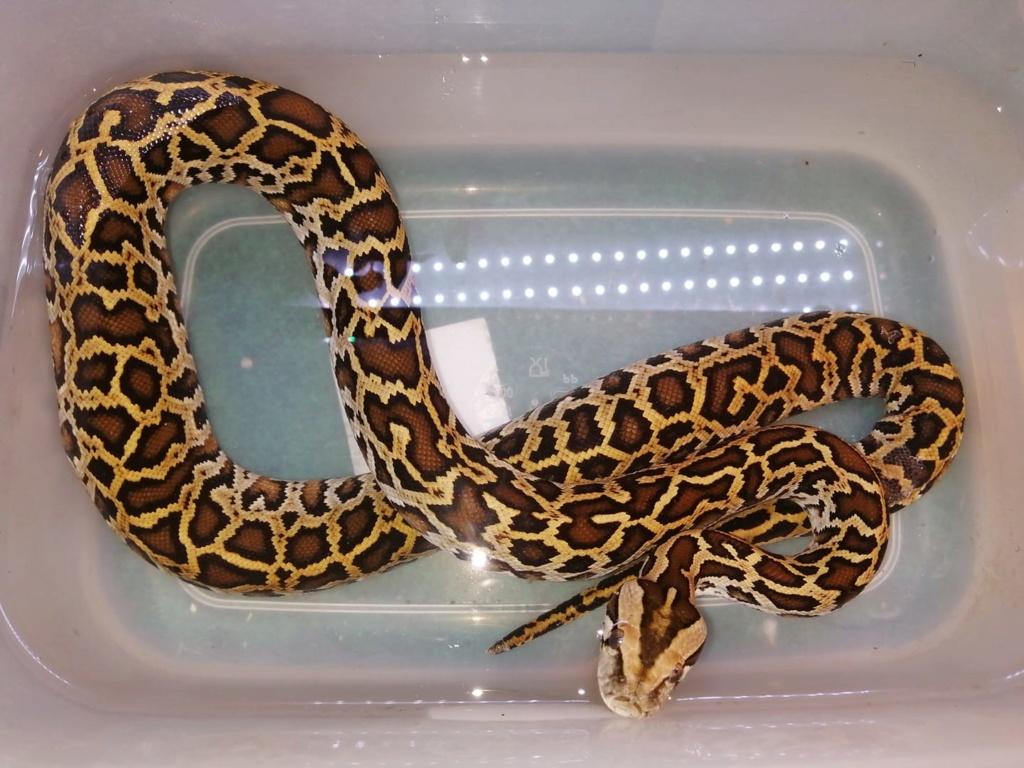 Mes pythons bivittatus et boa imperator, mes protégés 72101010