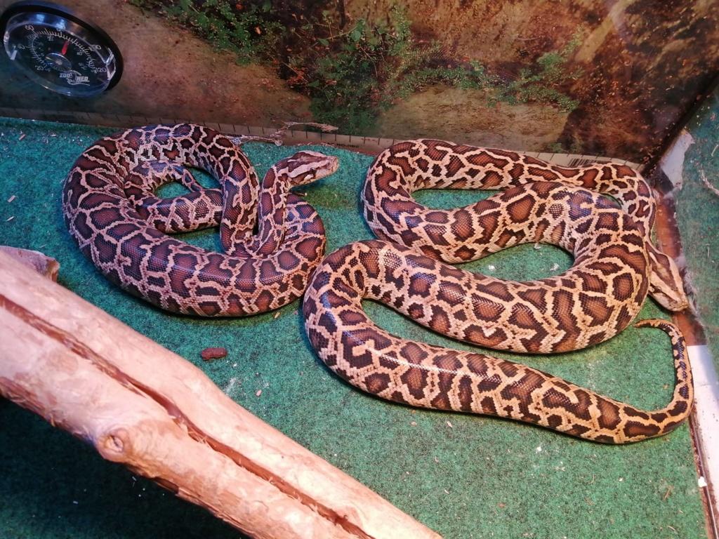 Mes pythons bivittatus et boa imperator, mes protégés 72736110
