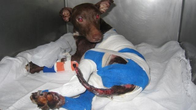 Pour une loi efficace contre la torture animale Mambo110