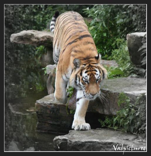 Plusieurs manip simples que vous savez réaliser Tigre10