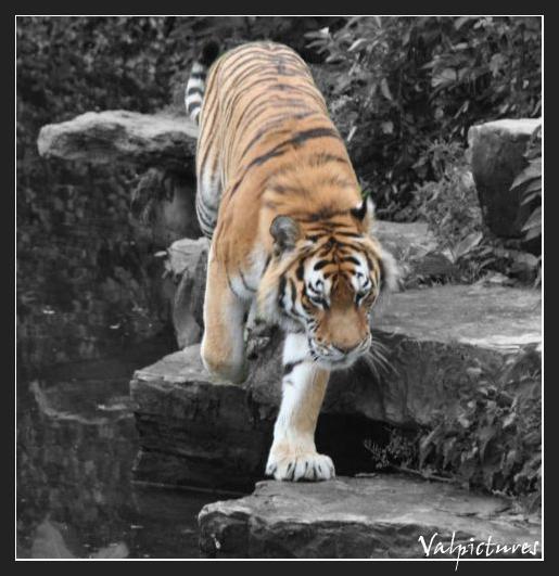 Plusieurs manip simples que vous savez réaliser Tigre_10